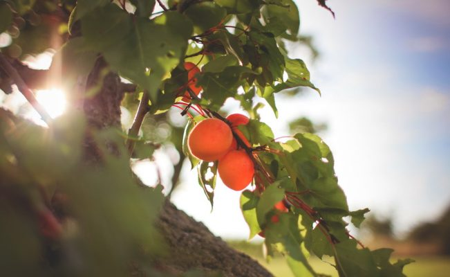 fresh-apricots-on-the-tree-picjumbo-com_resize